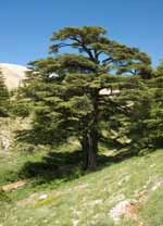 Cedars grove in Lebanon.
